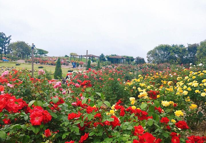 2020年6月4日に撮影したせんだい農業園芸センターのバラ園のバラの咲き具合